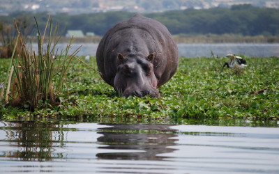 alex-hanbury-brown-hippopotamus-in-lake-naivasha-kenya
